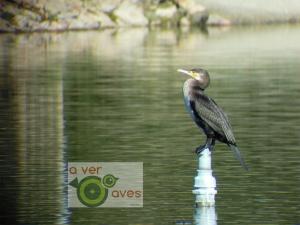 El cormorán grande es un asiduo del estanque del parque de Las Cruces. El surtidor central es su posadero favorito.
