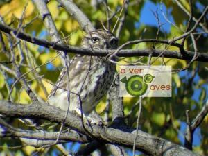 Ya está. Nuestro protagonista aparece más centrado y enfocado. No hubo tiempo de convencerle para que siga en el mismo árbol en la próxima ruta con peques de Aver Aves.