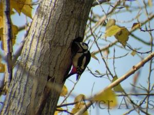 El pico picapinos es uno de los pájaros carpinteros que visita los parques urbanos.