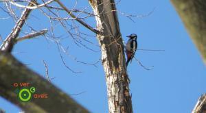 Pico picapinos en el parque Eugenia de Montijo de Madrid
