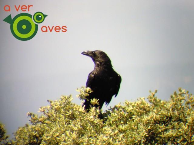 Cuervo (4)