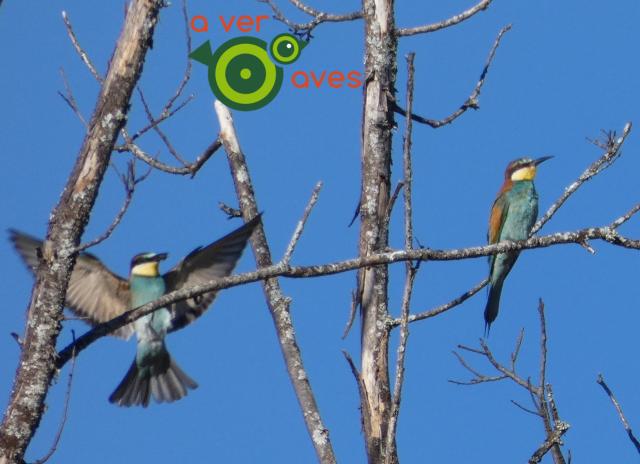 Abejarucos en Peñacaballera, sierra de Béjar, Salamanca - Aver Aves