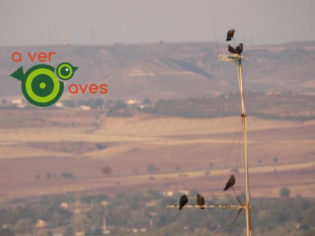 grajillas Aver Aves