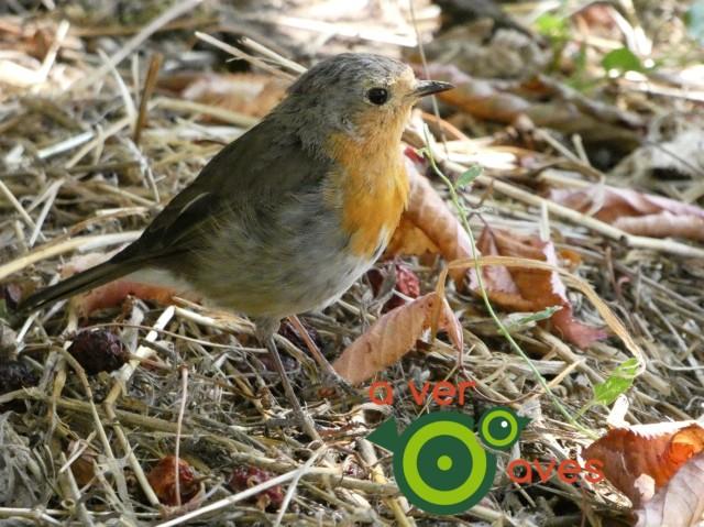 Petirrojo - Aver Aves